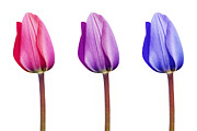 Striking Photography Digital Art Prints - Three Tulips in a Row Pink Lilac Purple Print by Natalie Kinnear