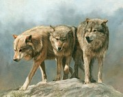 Grey Framed Prints - Three Wolves Framed Print by David Stribbling