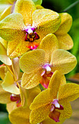 Dendrobium Photos - Three Yellow Orchids by Matthew Bamberg