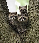 Ann Arbor Framed Prints - Three Young Raccoons in a Tree Framed Print by Jim Vansant