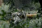 Wolves Photos - Through the Bushes by Ernie Echols