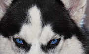 Blues Eyes Prints - Through the Eyes of a Husky-Wolf Print by Renee Anderson