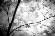 Japanese Maple Prints - Through The Leaves Print by Darryl Dalton
