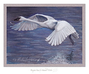 Swan In Flight Prints - Thrumpeter Swan Print by Michael  Weber