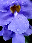 Mary Deal Posters - Thunbergia Macro with Raindrops Poster by Mary Deal