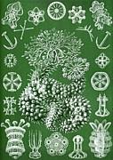 Thuroidea From Kunstformen Der Natur Print by Ernst Haeckel