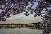 Reflections In River Prints - Tidal Basin corner holds more cherry blossoms 90 Print by Mark Serfass