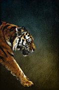 Siberian Tiger Posters - Tiger Poster by Angela Doelling AD DESIGN Photo and PhotoArt