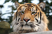 Brown Pyrography Metal Prints - Tiger Art Metal Print by Karl Wilson