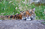 Bobcat Kitten Photos - Tiger Boredom by Athena Mckinzie