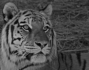 Photograph Of Cat Framed Prints - Tiger BW Framed Print by Ernie Echols