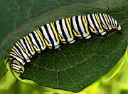 Tiger Swallowtail Digital Art Posters - Tiger Caterpillar Poster by Gerald Marella
