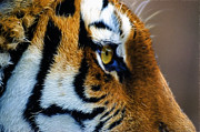 Tiger Fractal Framed Prints - Tiger Eye Framed Print by Wild Eye Images