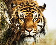 Keith Thorburn - Tiger Glare