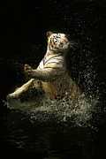 Michael Braham - Tiger In The Water
