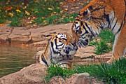 Tiger Kiss Print by David Rucker