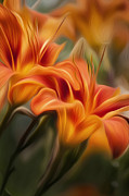 Orange Flowers Prints - Tiger Lily Print by Bill  Wakeley