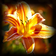 Orange Tiger Lily Prints - Tiger lily flower Print by Elena Elisseeva