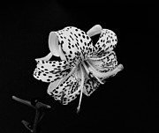Indiana Flowers Framed Prints - Tiger Lily in Black and White Framed Print by Sandy Keeton