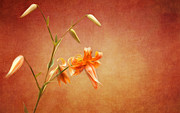 Orange Tiger Lily Prints - Tiger Lily Print by Lena Auxier