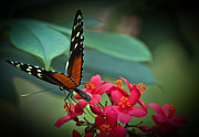 Butterfly Photographs Posters - Tiger Longwing Butterfly Poster by Joann Copeland-Paul