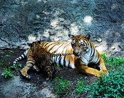 Baby Animals Photos - Tiger Love 1 by Mel Steinhauer