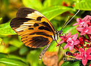 Orange And Black Butterfly Posters - Tiger Mimic Butterfly Poster by Millard H. Sharp