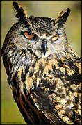 LeeAnn McLaneGoetz McLaneGoetzStudioLLCcom - Tiger Owl Stare