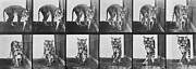 Black And White Prints Prints - Tiger pacing Print by Eadweard Muybridge