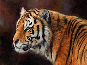 Wildlife Art Prints Prints - Tiger Portrait  Print by David Stribbling
