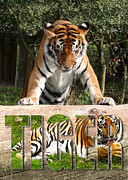 Stood Digital Art Framed Prints - Tiger Poster 4 Framed Print by John Hebb