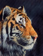 Nature Art Prints Framed Prints - Tiger profile Framed Print by David Stribbling