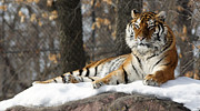 Tina Hailey - Tiger Relaxing Snow...