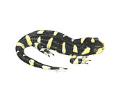 Cindy Hitchcock - Tiger Salamander