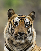 Focus On Foreground Originals - Tiger  by Satyendra Kumar Tiwari