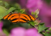 Broward Framed Prints - Tiger Stripe Butterfly Framed Print by Sabrina L Ryan