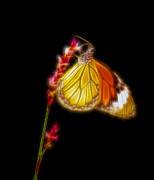 Danaus Genutia Prints - Tiger striped butterfly fractal art Print by Saurabh and Geetanjali Nande