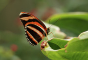 Indiana Metal Prints - Tiger Striped Butterfly Metal Print by Sandy Keeton