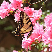 Cathy Lindsey Photos - Tiger Swallowtail and Azaleas by Cathy Lindsey