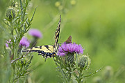 Mother Nature Photos - Tiger Swallowtail And Skipper Butterflies On Thistle by Mother Nature