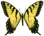 Horizontal Drawings Prints - Tiger swallowtail  Print by Anonymous
