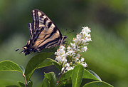 Papilionidae Prints - Tiger Swallowtail Butterfly 2 Print by Sharon  Talson