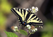 Tiger Swallowtail Posters - Tiger Swallowtail Butterfly 2a Poster by Sharon  Talson