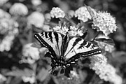 Yellow Bugs Prints - Tiger Swallowtail Butterfly Black and White Print by Jennie Marie Schell