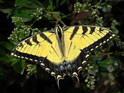 Yellow Insect Posters - Tiger Swallowtail Butterfly Poster by David and Carol Kelly