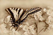 Umber Posters - Tiger Swallowtail Butterfly in Amber Poster by Jennie Marie Schell