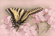 Tiger Swallowtail Posters - Tiger Swallowtail Butterfly in the Garden Poster by Jennie Marie Schell