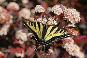 Tiger Swallowtail Posters - Tiger Swallowtail Butterfly Poster by Jennie Marie Schell