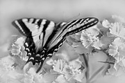 Tiger Swallowtail Posters - Tiger Swallowtail Butterfly Monochrome Poster by Jennie Marie Schell