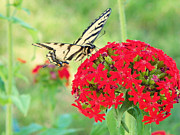 Betty E Duncan - Tiger Swallowtail...